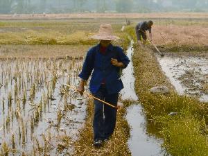 China Farmer Spraying Rice Paddies