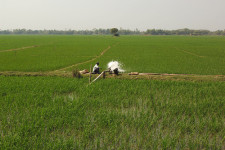 IFDC programs aim to help cut greenhouse gas emissions in Bangladesh's rice fields