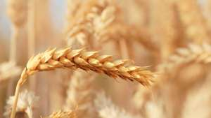BASF Licenses Clearfield Wheat Technology to Northern Seed LLC