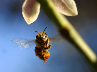 EU tackles honeybee decline
