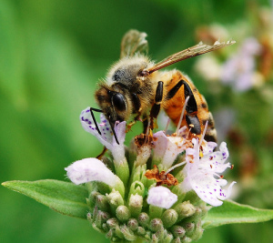 Annual overwintering losses of honey bee colonies in the U.S. have been recorded at 23.2% in 2014, down from 30.5% in 2013; photo credit: Photo Credit: Penn State News, Creative Commons