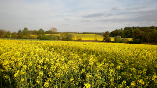 Bayer's TruFlex Canola Approved by China