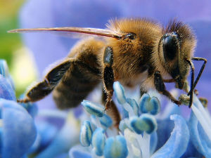BASF says the restriction of fipronil will not contribute to protecting bees. Credit: Ricks at de.wikipedia  Creative Commons license