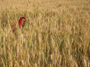 An Ahir tribal woman harvests wheat in Nadapa village, east of Bhuj, India. Photo credit: Flickr user Meena Kadri; Creative Commons license