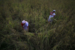 Indian farmers harvest paddy in a field on the outskirts of Gauhati, India, Thursday Nov. 13, 2014. The United States and India said Thursday they had resolved a dispute over stockpiling of food by governments, clearing a major stumbling block to a deal to boost world trade. India is one of the world's largest grain exporters and the low cost of its production and procurement system means it can sway world prices.(AP Photo/Anupam Nath)