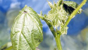 Aphids Cotton
