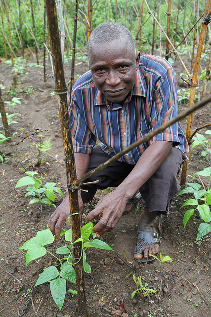 A Liberian farmer tending improved-variety bean production. With the onset of Ebola, people have been discouraged from gathering in public places and are fearful of group work, making  production and marketing challenging. Photo courtesy ACDI/VOCA
