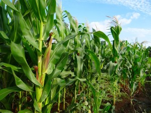On average, maize farmers, using hybrid seeds, have reported average incremental yields of 4-6 quintals per acre of land. This additional produce translates into an increased income of Rs. 5,000-Rs. 7,000 per acre.