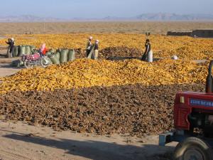 Maize and subflower harvest Chahaertan, China 2005. Photo: AusAID