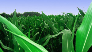 Syngenta to Deploy Water-Optimizing Corn Genes in Artesian Hybrids