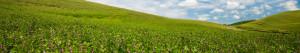 Lentil field image