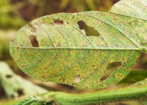 Embrapa, Bayer to Map Mechanism of Soybean Disease Resistance to Fungicides