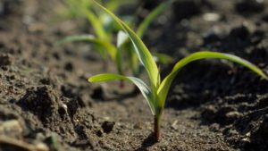 Monsanto Sees Global Launch for Biological Seed Treatment for Corn