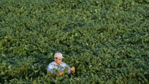 Soybean souting mature