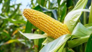 Corn closeup