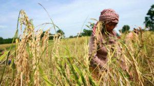 Cambodia rice Photo KT/Chor-Sokunthea