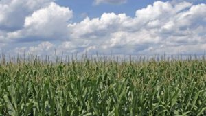 Enlist Corn Approved for 2018 Growing Season