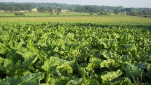 Bayer and KWS Grant First License for Herbicide-Tolerant Sugarbeet to SESVanderHave