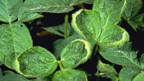 Is the U.S. Already Headed for Dicamba-Resistant Weeds?