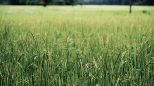 India-wheat