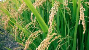 BASF Launches Revysol Fungicide in South Korea