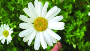 Pyrethrum flowers