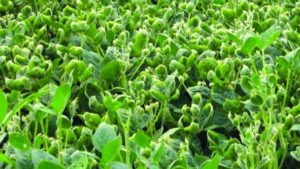 U.S. EPA Renews Dicamba Label, with New Restrictions