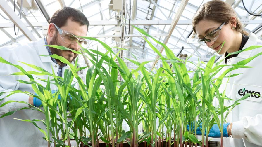 Enko researchers evaluate new pest control on corn. Photo credit Tim Llewellyn